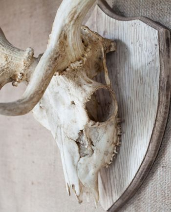 Bleached Antlers on Shields